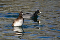 Female Scaup Rising High in the Water Royalty Free Stock Photos