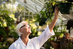 Female scientist examining potted plants Royalty Free Stock Image
