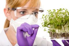Female scientist looking at plant sample. Female scientist in goggles, gloves and mask looking carefully at plant sample, laboratory shoot, isolated on white Royalty Free Stock Images