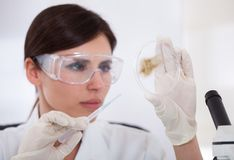Female Scientist Looking At Petridish Royalty Free Stock Photos