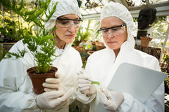 Female scientists in clean suit examining plants. At greenhouse Royalty Free Stock Image