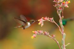 Female of Scintillant Hummingbird, Selasphorus scintilla, hovering next to yellow flower in garden, mountain tropical forest. Costa Rica, natural habitat stock images