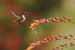Female of Scintillant Hummingbird, Selasphorus scintilla, hovering next to yellow flower in garden, mountain tropical forest. Costa Rica, natural habitat royalty free stock images