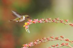 Female of Scintillant Hummingbird, Selasphorus scintilla, hovering next to yellow flower in garden, mountain tropical forest. Costa Rica, natural habitat stock photography