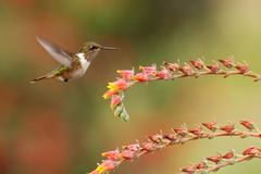 Female of Scintillant Hummingbird, Selasphorus scintilla, hovering next to yellow flower in garden, mountain tropical forest. Costa Rica, natural habitat royalty free stock photography