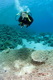 Female scuba diver. Swims above table coral in Thailand royalty free stock images