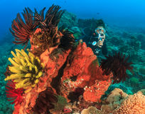 Female SCUBA diver on feather stars Stock Images