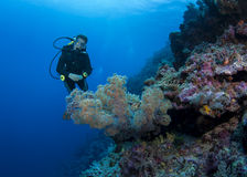 Female Scuba Diver Inspects Soft Coral Tree Stock Photo