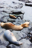 Female sea lion with babies Stock Images