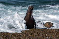 Female sea lion on the beach. Patagonia sea lion portrait seal on the beach while looking at you Stock Images