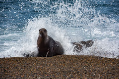 Female sea lion on the beach. Patagonia sea lion portrait seal on the beach while looking at you Royalty Free Stock Photo