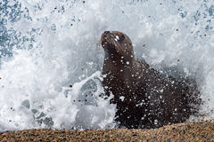 Female sea lion on the beach. Patagonia sea lion portrait seal on the beach while looking at you Royalty Free Stock Photos