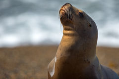 Female sea lion on the beach. Patagonia sea lion portrait seal on the beach while looking at you Stock Photo