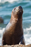 Female sea lion on the beach. Patagonia sea lion portrait seal on the beach while looking at you Stock Photos