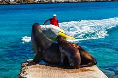 Female sea lion with her calf on the stone pier observe the arri. Val of a motor boat, Isla Plaza Sur, Galapagos Stock Image
