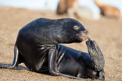 Female sea lion seal picking nose with fin in Patagonia Royalty Free Stock Photos
