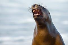 Female sea lion seal yawning. Female sea lion seal on Patagonia beach while roaring Royalty Free Stock Image