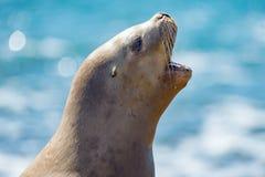 Female sea lion seal yawning. Female sea lion seal on Patagonia beach while roaring Stock Photos