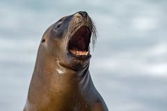 Female sea lion seal yawning. Female sea lion seal on Patagonia beach while roaring Royalty Free Stock Images