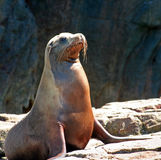 Female seal basking in sun in Cabo San Lucas at Los Arcos (Lands End) Mexico. MEX Stock Photo