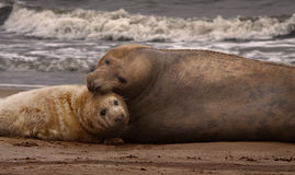 Female Seal close to her Pup stock photography