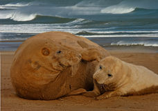 Female Seal with her pup. A female Atlantic Grey Seal with her pup at Donna Nook, Lincolnshire, England Stock Photos