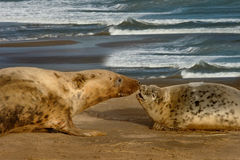 Female Seal with her pup. A female Atlantic Grey Seal with her pup on the beach at Donna Nook, Lincolnshire, England Stock Photo
