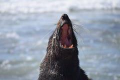 Female seal yawning Stock Photo