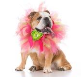 Female senior bulldog. Wearing a tulle collar on white background Royalty Free Stock Photography