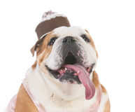 Female senior bulldog Stock Photography