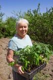 Female senior gardener posing seedlings tomato Stock Images