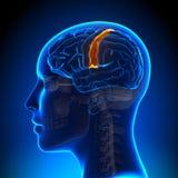 Female Sensorimotor Area - Anatomy Brain Royalty Free Stock Photography