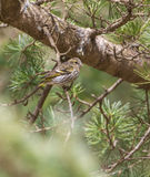 Female Serin on a pine tree Stock Photo