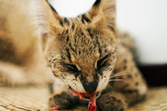 Female serval cat leptailurus serval eating/enjoying bone front view on woven mat. stock images