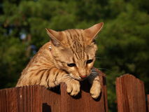 Female Serval Savannah Cat. A striped gold colored female Serval Savannah cat looking down over a wooden fence wearing a pink collar stock photo