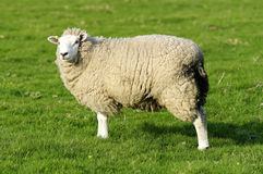 Female Sheep Royalty Free Stock Images
