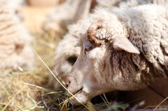 Female sheep eating grass and hay in farm Stock Images