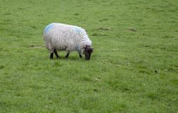 Sheep. A female sheep grazing in Ireland royalty free stock images
