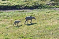 Ewe and Lamb Royalty Free Stock Images
