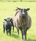 Female sheep protecting her lambs Royalty Free Stock Images