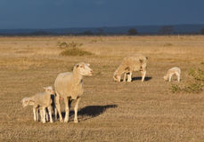 Female sheep with twin lambs Stock Photos