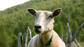 Female sheep Royalty Free Stock Photo