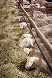 Female sheeps in sheepfold Stock Photo