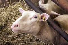 Female sheeps in sheepfold Stock Photography