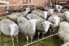 Female sheeps in sheepfold stock photo