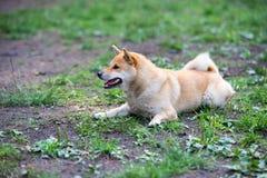Female shiba inu dog Royalty Free Stock Image