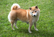 Female shiba inu dog stood on grass. Side view of female shiba inu dog with nursing teats stood on green grass Royalty Free Stock Images