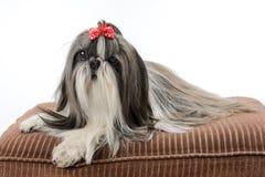 Female Shih Tzu dog stock image