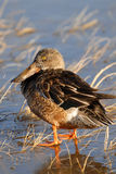Female Shoveler Duck Stock Photos