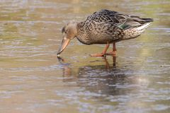 A female shoveler duck walking on the ice on the cemetery lake Southampton Common stock photo